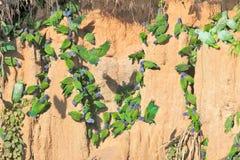 Muitos papagaios que comem a argila, Peru Fotografia de Stock