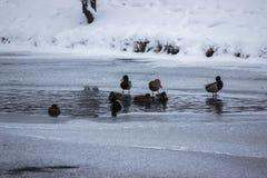 Muitos patos estão procurando o alimento na água no inverno rio congelado, um momento da fome para os animais neve e gelo ao redo fotografia de stock