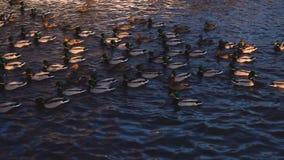 Muitos patos selvagens flutuam em uma lagoa no por do sol Animais selvagens bonitos 4k da natureza video estoque