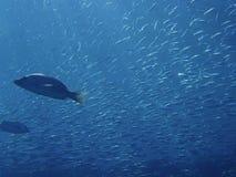 Muitos peixes Imagens de Stock Royalty Free