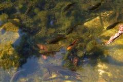 Muitos peixes Foto de Stock Royalty Free