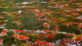 Muitos peixes bonitos do excremento da fantasia que nadam e que relaxam na superfície da água da lagoa video estoque