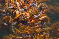 Muitos peixes do koi Imagens de Stock Royalty Free