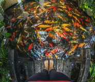 Muitos peixes do ouro no rio, Koh Samui Fotografia de Stock
