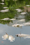 Muitos peixes inoperantes flutuaram no rio, poluição de água Imagens de Stock
