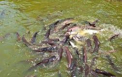Muitos peixes na lagoa Fotos de Stock Royalty Free