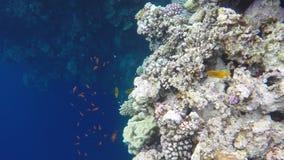 Muitos Peixes nadam perto dos recifes de corais Os recifes estão perto do abismo azul video estoque