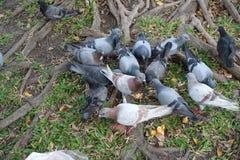 Muitos pombos ao redor Fotografia de Stock Royalty Free