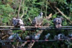 Muitos pombos empoleiram-se no fio elétrico fotos de stock