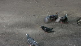 Muitos pombos que lutam pelo alimento vídeos de arquivo
