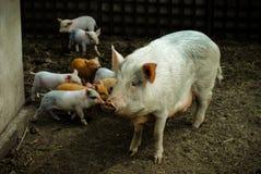 Muitos porcos Fotos de Stock Royalty Free