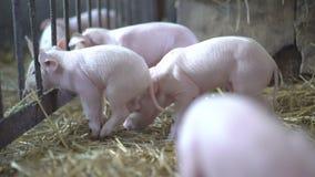 Muitos porcos pequenos que descansam na palha em 4K video estoque