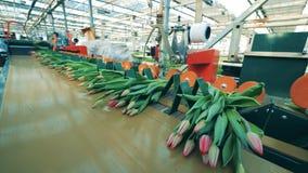 Muitos ramalhetes de tulipas cor-de-rosa moveram-se no transporte automatizado em um greehouse video estoque