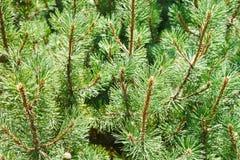 Muitos ramos verdes do pinheiro Foto de Stock Royalty Free