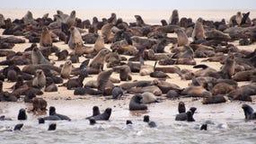 Muitos selos do marrom na areia molhada Imagem de Stock Royalty Free