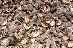Muitos shell do diabrete deixados na praia Imagens de Stock