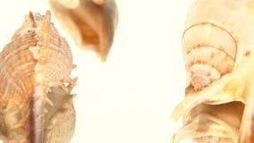 Muitos shell do mar do marrom no branco, rotação vídeos de arquivo