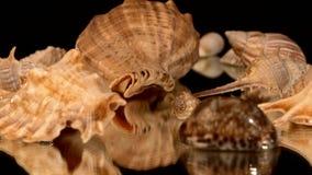 Muitos shell do mar no preto, rotação, reflexão vídeos de arquivo