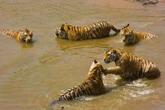 Muitos tigres na água Imagens de Stock Royalty Free