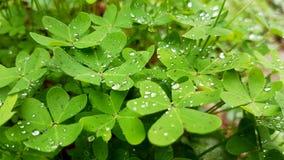 Muitos trevos molhados na natureza Imagem de Stock