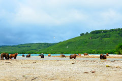 Muitos ursos estão caçando em salmões selvagens na costa Imagens de Stock