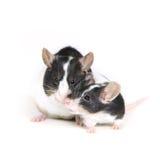 Muizen in liefde 2 Stock Afbeeldingen