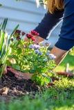 Mujer adulta que planta las flores coloridas de la primavera Foto de archivo libre de regalías