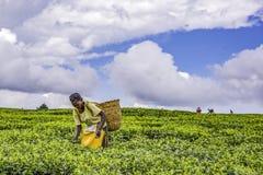 Mujer africana que cosecha las hojas de té blandas de alta calidad y los rubores a mano fotos de archivo libres de regalías
