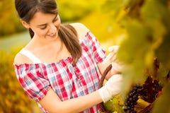 Mujer alegre que cosecha las uvas Foto de archivo libre de regalías