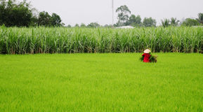 Mujer asiática con el sombrero cónico que trabaja en el campo del arroz Imágenes de archivo libres de regalías