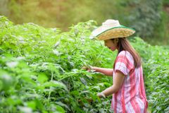 Mujer asiática joven que trabaja en campo de los tomates Foto de archivo libre de regalías