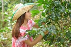 Mujer asiática joven que trabaja en la plantación de café Fotos de archivo