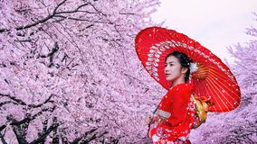 Mujer asi?tica que lleva el kimono y la flor de cerezo tradicionales japoneses en la primavera, Jap?n foto de archivo libre de regalías