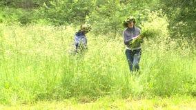 Mujer bonita que escoge las flores y las plantas en el prado para la corona natural almacen de video