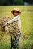 Mujer camboyana que cosecha el arroz en campo Foto de archivo