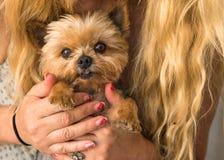 Mujer caucásica rubia con el pelo largo que sostiene el terrier de Yorkshire en sus manos, cara linda del perro Foto de archivo
