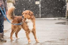 Mujer con el paseo del perro en invierno en el camino imágenes de archivo libres de regalías