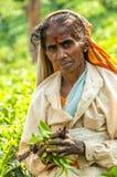 Mujer con las hojas del té Fotografía de archivo libre de regalías