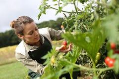 Mujer de arrodillamiento que coge los tomates del jardín Imagen de archivo libre de regalías