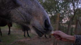 Mujer de la cámara lenta que alimenta el caballo hermoso Hocico y boca del caballo que comen la comida almacen de video