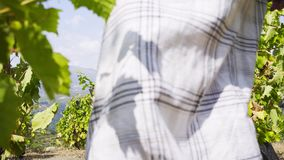 Mujer de la cosecha que camina en viñedo metrajes