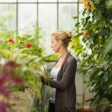 Mujer de los floristas que trabaja en invernadero Imagen de archivo libre de regalías