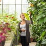Mujer de los floristas que trabaja en invernadero Imagen de archivo