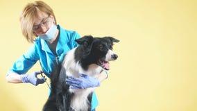 Mujer de pelo rubio en el uniforme azul, vidrios que arreglan el pelo del perro de la raza almacen de video