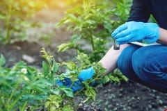 Mujer del agrónomo que sostiene una muestra del suelo y una tableta Producción respetuosa del medio ambiente de la granja sin los foto de archivo libre de regalías