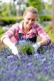Mujer del centro de jardinería en la sonrisa del macizo de flores de la lavanda Imagenes de archivo