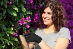 Mujer del jardinero que corta una flor rosada con las tijeras de podar Foto de archivo
