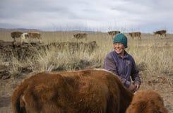 Mujer del nómada de Mongoliad con sus vacas imágenes de archivo libres de regalías
