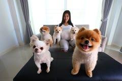 Mujer embarazada y animales domésticos lindos del perro pomeranian en sala de estar Imagenes de archivo