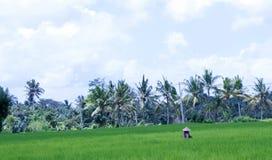 Mujer en el arroz Paddy Field Imagenes de archivo
